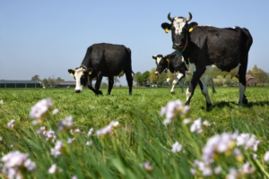 livestock regenerative dairy agriculture